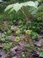 Wild sarsaparilla : 1- Plant