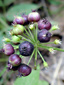 Wild sarsaparilla : 8- Unrippe fruits