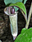 Jack-in-the-pulpit : 1- Inflorescence