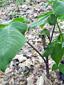 Arisème petit-prêcheur : 2- Plante en fleur