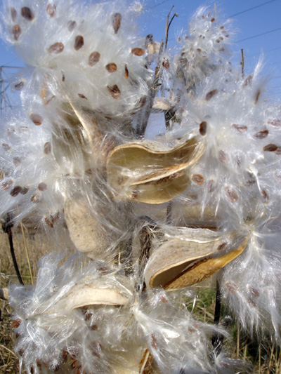 Common Milkweed (Asclepias syriaca) : Seeds and papus