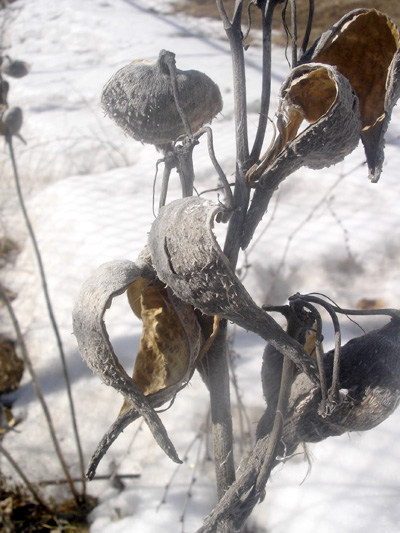 Common Milkweed (Asclepias syriaca) : Fruit after dehiscence