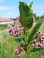 Common Milkweed : 1- Flowering plant