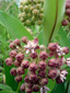 Common Milkweed : 7- Flowers and buds