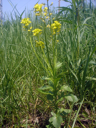 Bitter wintercress (Barbarea vulgaris) : Flowering plant