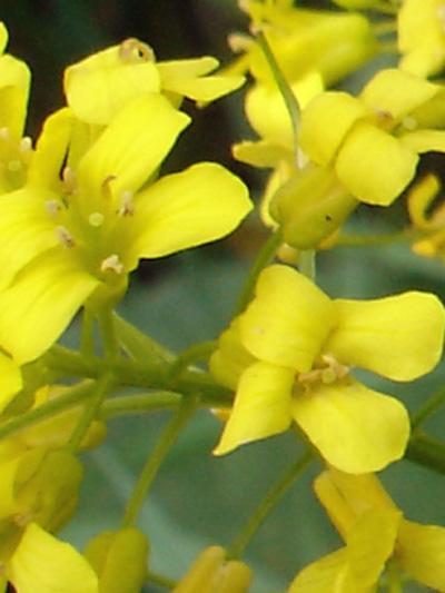 Barbaree vulgaire (Barbarea vulgaris) Fleurs
