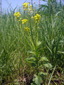Barbarée vulgaire : 1- Plante en fleur