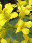 Barbarée vulgaire : 3- Fleurs
