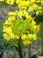 Barbarée vulgaire : 5- Fleurs et boutons