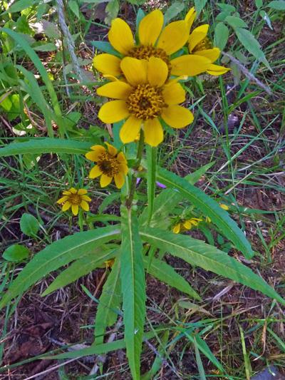 Bident penche (Bidens cernua) Plantes en fleurs