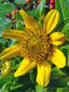 Bident penché : 1- Fleur