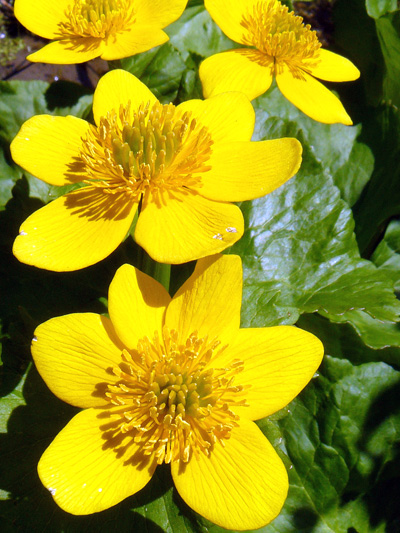 Yellow marsh marigold (Caltha palustris) : Flowers