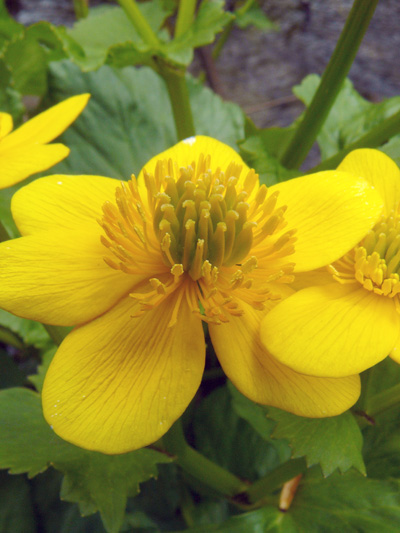 Yellow marsh marigold (Caltha palustris) : Flower