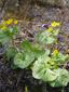 Yellow marsh marigold : 1- Flowering plant