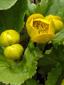 Populage des marais : 3- Boutons et jeune fleur