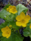 Yellow marsh marigold : 4- Flowers