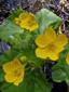 Populage des marais : 4- Fleurs