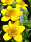 Yellow marsh marigold : 5- Flowers