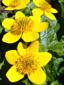 Populage des marais : 5- Fleurs
