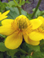 Yellow marsh marigold : 6- Flower