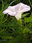 Hedge false bindweed : 1- Flower
