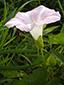 Liseron des haies : 1- Fleur