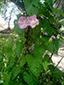 Liseron des haies : 11- Plante en fleurs