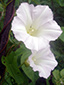 Hedge false bindweed : 3- Flowers