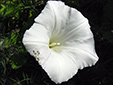 Hedge false bindweed : 4- Flower