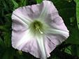 Liseron des haies : 7- Fleur