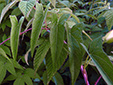 Hedge false bindweed : 8- Leaves