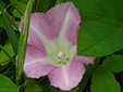 Hedge false bindweed : 9- Flower