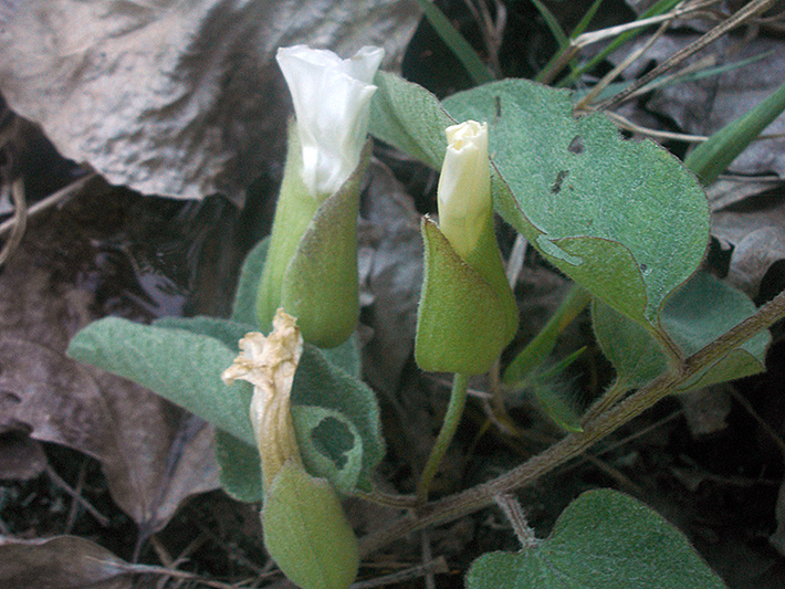 Low false bindweed (Calystegia spithamaea) : Closed flowers