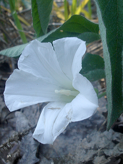 Low false bindweed (Calystegia spithamaea) : Flower