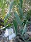Low false bindweed : 3- Flowering plant