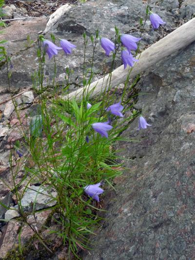 Giesecke's bellflower (Campanula gieseckeana) : Flowering plants