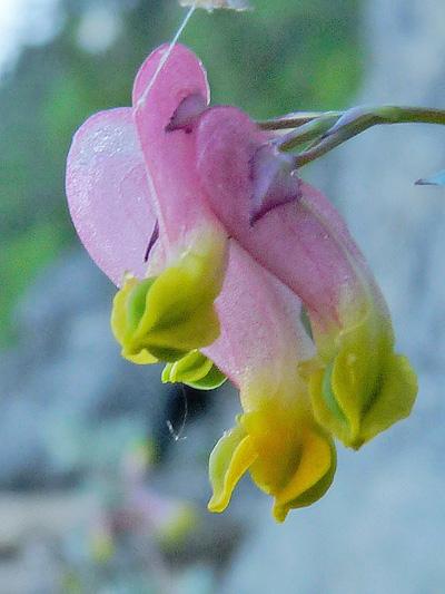 Corydale toujours-verte (Capnoides sempervirens) Fleurs