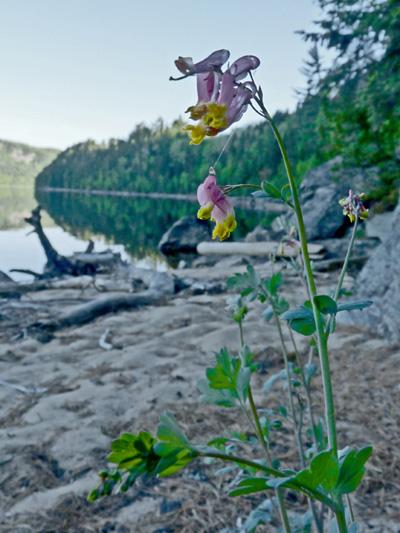 Corydale toujours-verte (Capnoides sempervirens) Plante en fleur