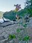 Corydale toujours-verte : 4- Plante en fleur