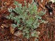 Corydale toujours-verte : 5- Plante avant floraison