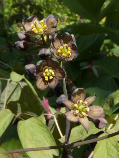 Blue cohosh (Caulophyllum thalictroides) : Inflorescence