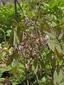 Cohosh bleu : 5- Plante en fleurs