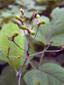 Cohosh bleu : 6- Jeunes fruits (graines)