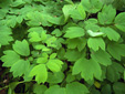 Blue cohosh : 8- Mature leaves