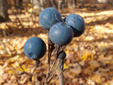 Blue cohosh : 9- Fruits (seeds)