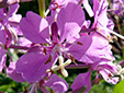 Fireweed : 2- Flower