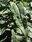 Épilobe à feuilles étroites : 4- Feuille