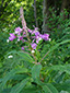 Fireweed : 5- Flowering plant