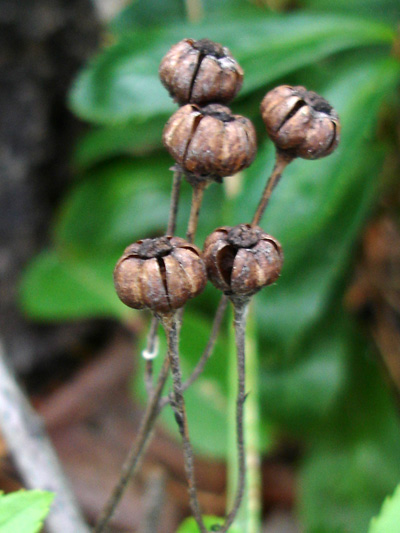 Chimaphile a ombelles (Chimaphila umbellata) Capsules vide