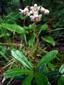 Chimaphile à ombelles : 1- Plante en fleur